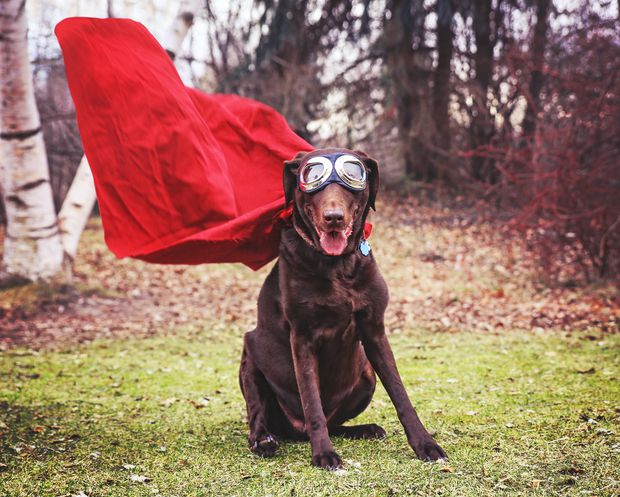 chocolate-labrador-dog-goggles-cape.jpg.620x0_q80_crop-smart_upscale-true